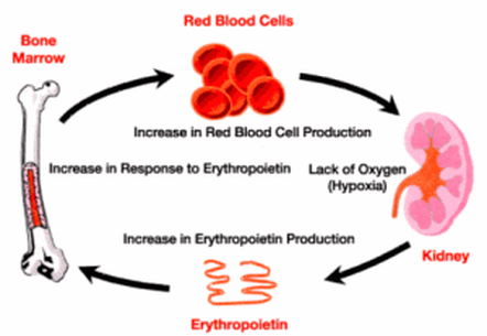 doping red blood cells Blood doping is the practice of boosting the number of red blood cells in the bloodstream in order to enhanceathletic performance because suchblood cells carry oxygen from the lungs to the.